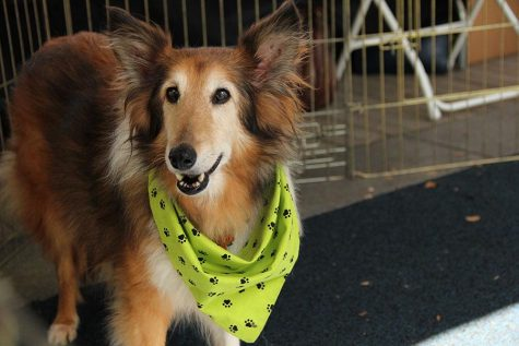 I spotted this sweetie at the Austin Sheltie Rescue booth trying to lure me into adopting him