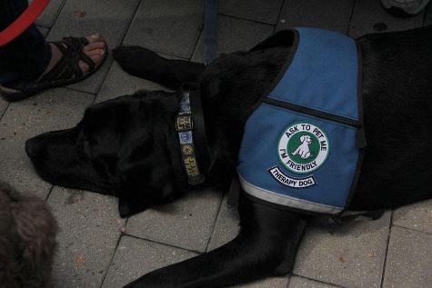 A Black Lab therapy pup trying to catch a few minutes rest before he has to show off for another curious visitor.